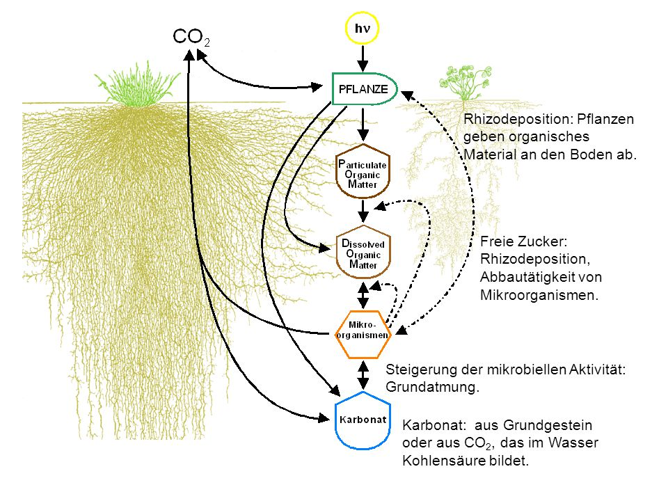 Rhizodeposition: Pflanzen geben organisches Material an den Boden ab.