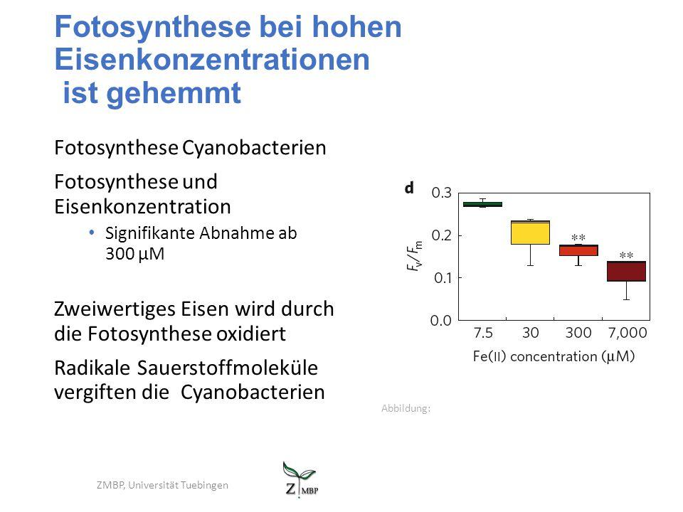 Fotosynthese bei hohen Eisenkonzentrationen ist gehemmt