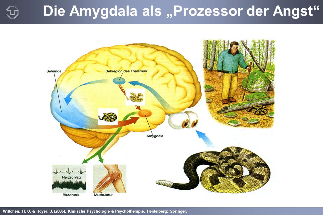 """Die Amygdala als """"Prozessor der Angst"""