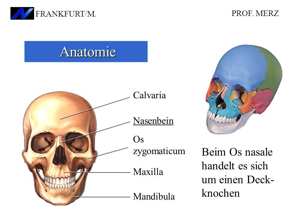 Anatomie Beim Os nasale handelt es sich um einen Deck-knochen Calvaria