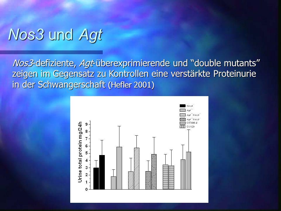 Nos3 und Agt Nos3-defiziente, Agt-überexprimierende und double mutants zeigen im Gegensatz zu Kontrollen eine verstärkte Proteinurie.