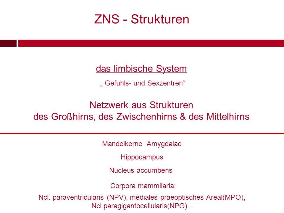 ZNS - Strukturen das limbische System Netzwerk aus Strukturen