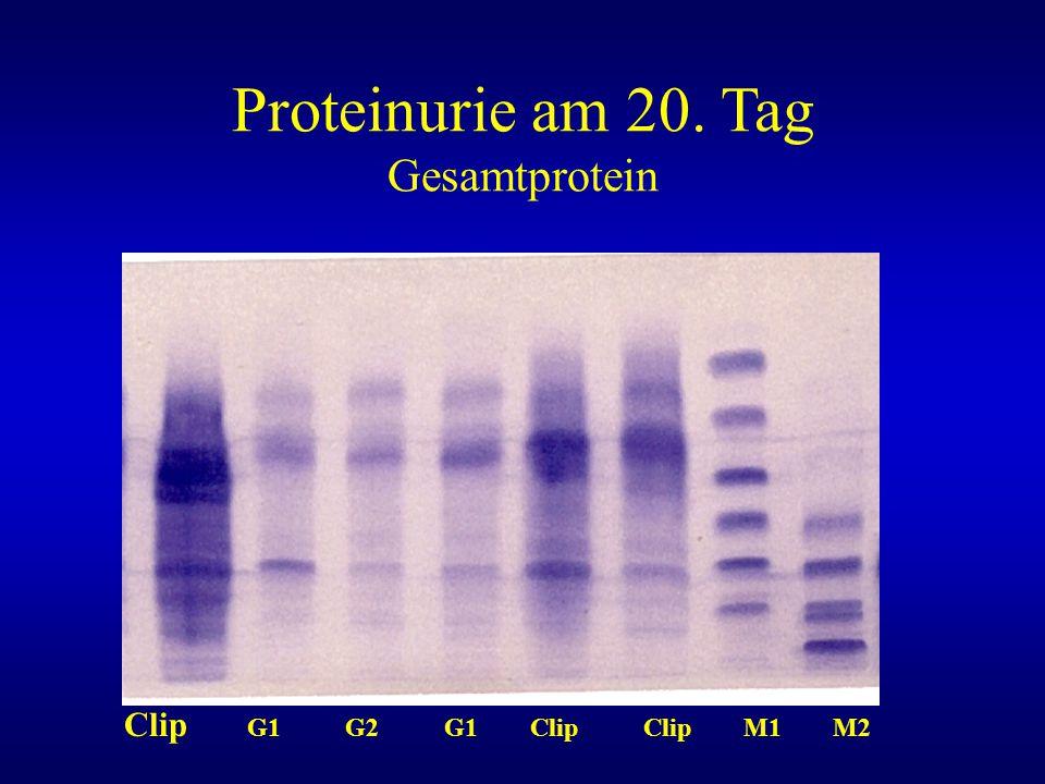 Proteinurie am 20. Tag Gesamtprotein