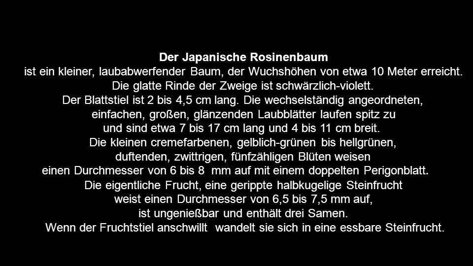Der Japanische Rosinenbaum
