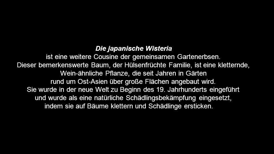 Die japanische Wisteria