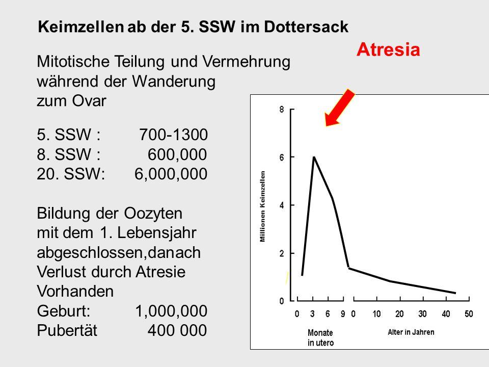 Atresia Keimzellen ab der 5. SSW im Dottersack