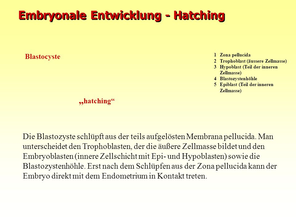 Embryonale Entwicklung - Hatching