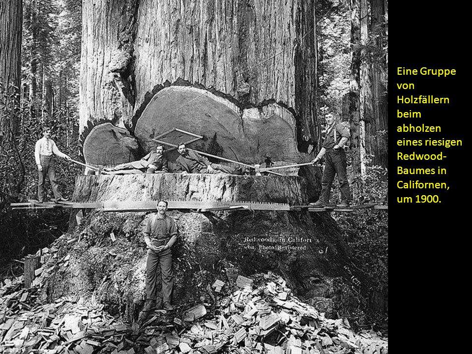 Eine Gruppe von Holzfällern beim abholzen eines riesigen Redwood-Baumes in Californen, um 1900.