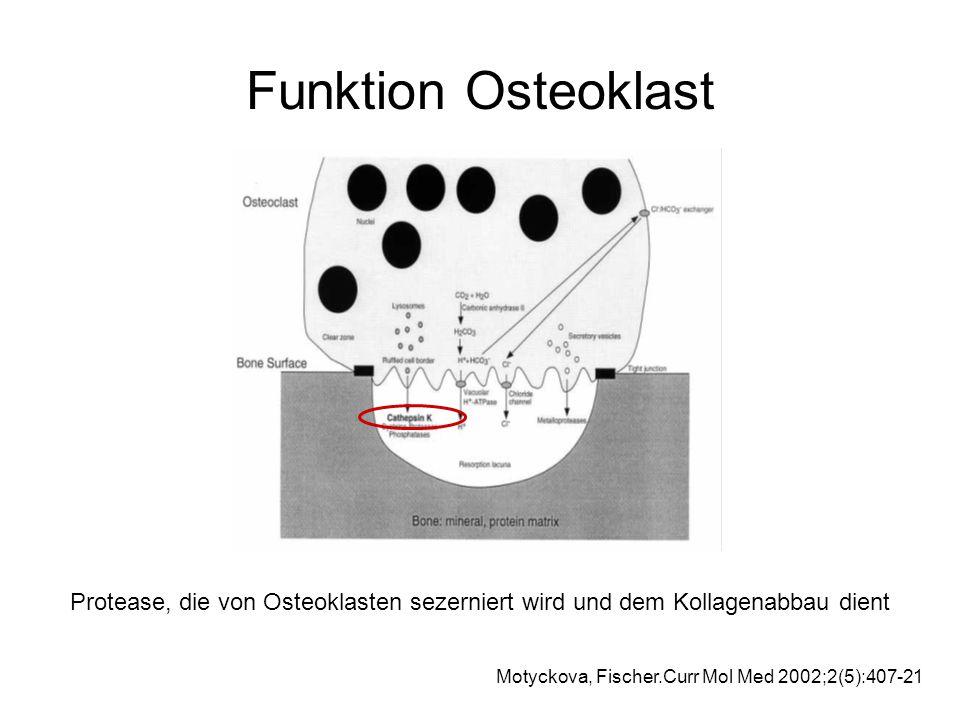 Funktion Osteoklast Protease, die von Osteoklasten sezerniert wird und dem Kollagenabbau dient.