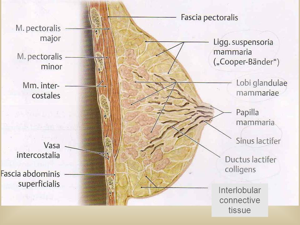 Interlobular connective tissue