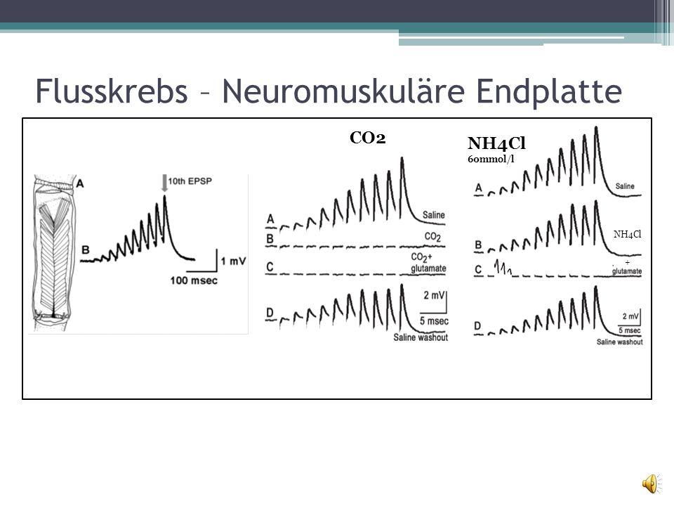 Flusskrebs – Neuromuskuläre Endplatte