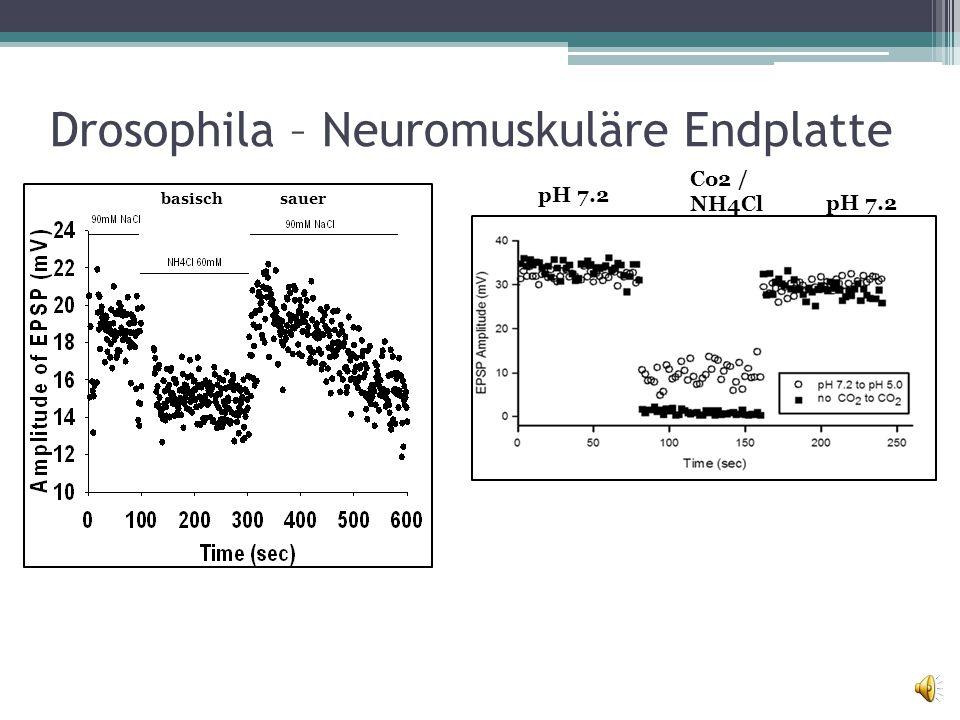 Drosophila – Neuromuskuläre Endplatte