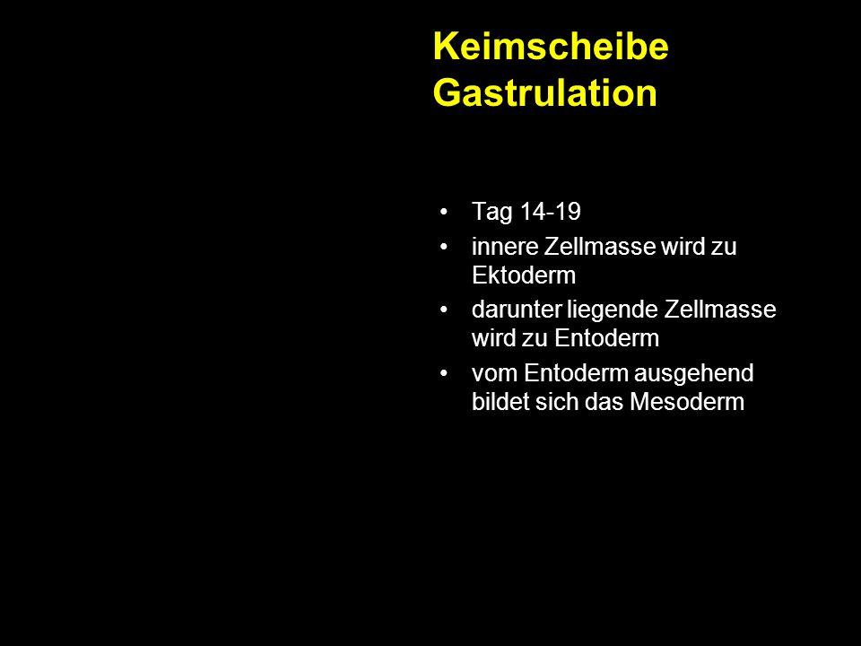 Keimscheibe Gastrulation