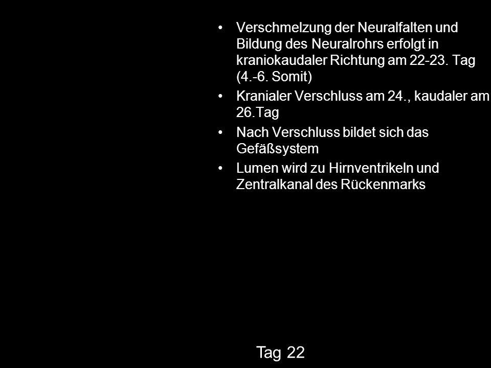 Verschmelzung der Neuralfalten und Bildung des Neuralrohrs erfolgt in kraniokaudaler Richtung am 22-23. Tag (4.-6. Somit)