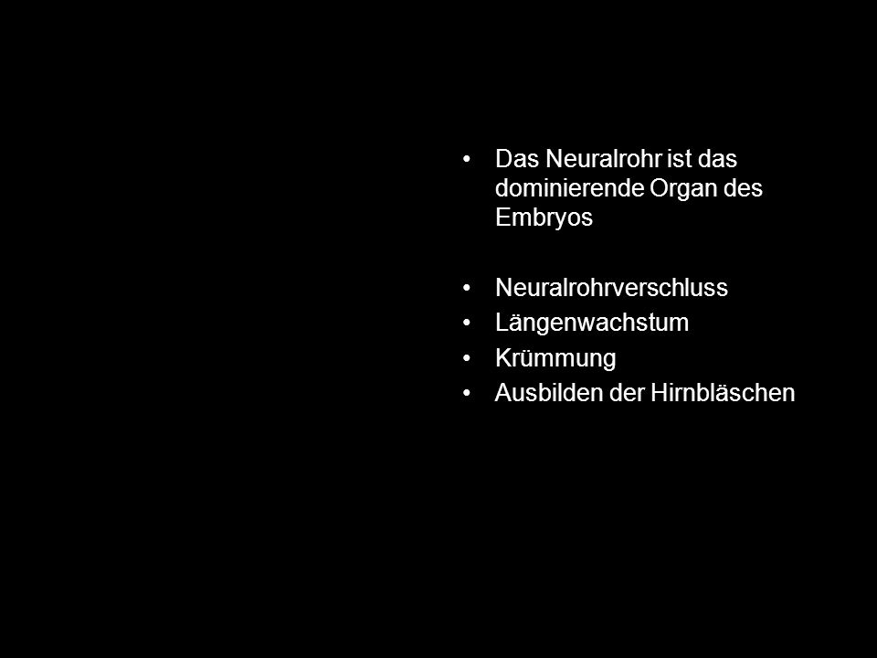 Das Neuralrohr ist das dominierende Organ des Embryos