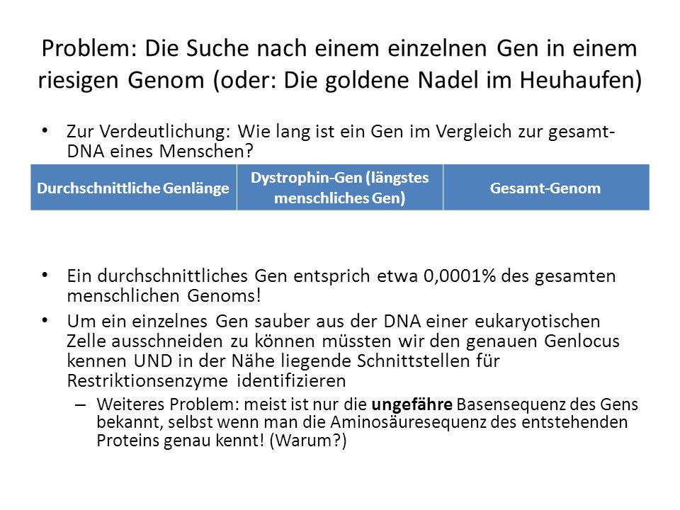 Durchschnittliche Genlänge Dystrophin-Gen (längstes menschliches Gen)