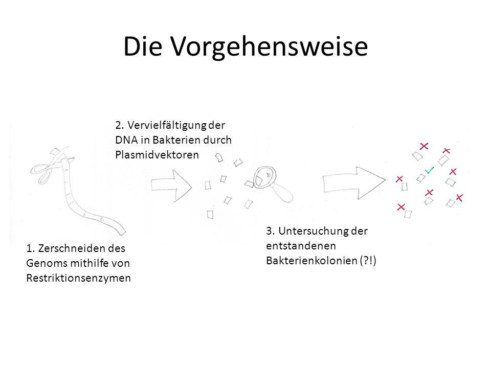 Die Vorgehensweise 2. Vervielfältigung der DNA in Bakterien durch Plasmidvektoren. 3. Untersuchung der entstandenen Bakterienkolonien ( !)