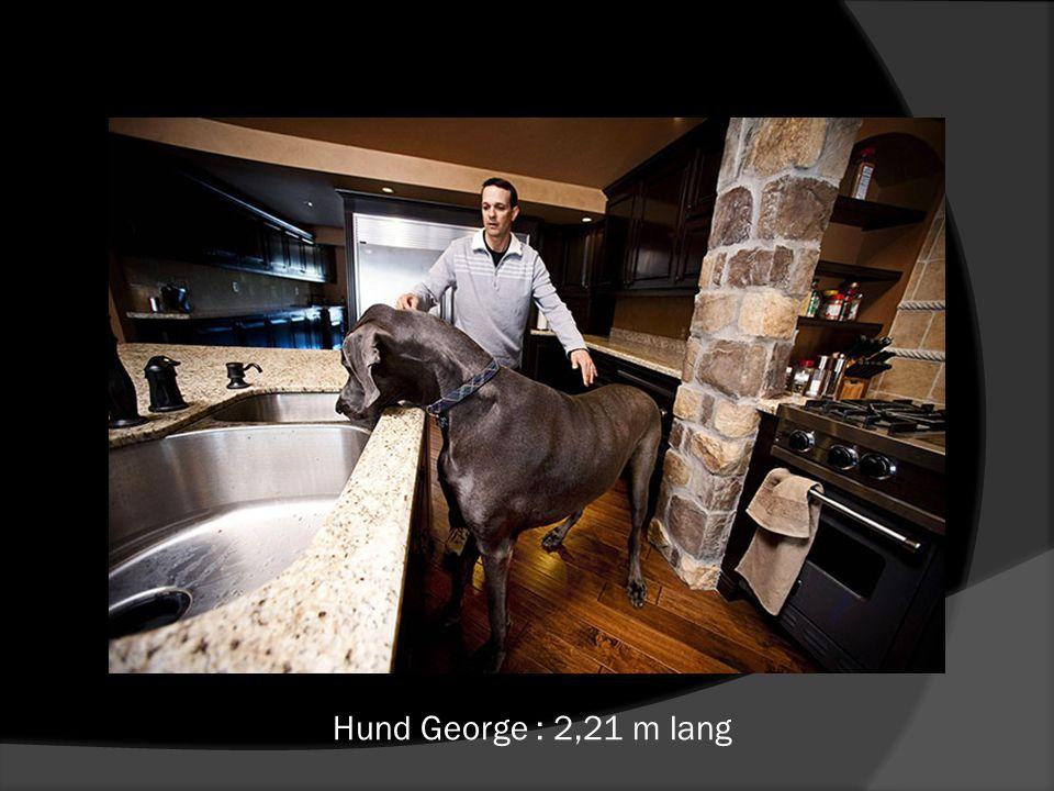 Hund George : 2,21 m lang