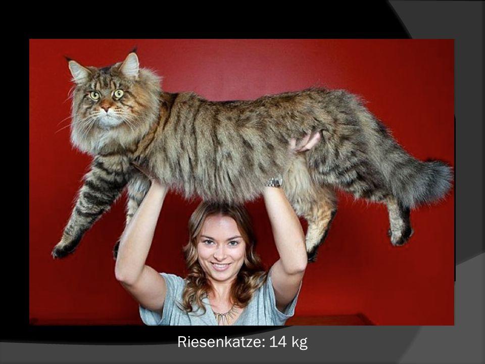 Riesenkatze: 14 kg