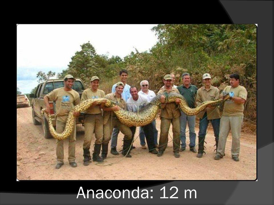 Anaconda: 12 m