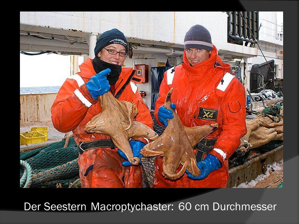 Der Seestern Macroptychaster: 60 cm Durchmesser