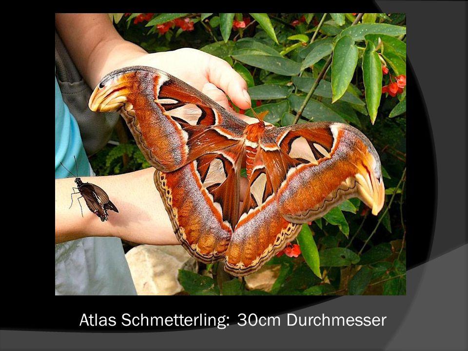 Atlas Schmetterling: 30cm Durchmesser