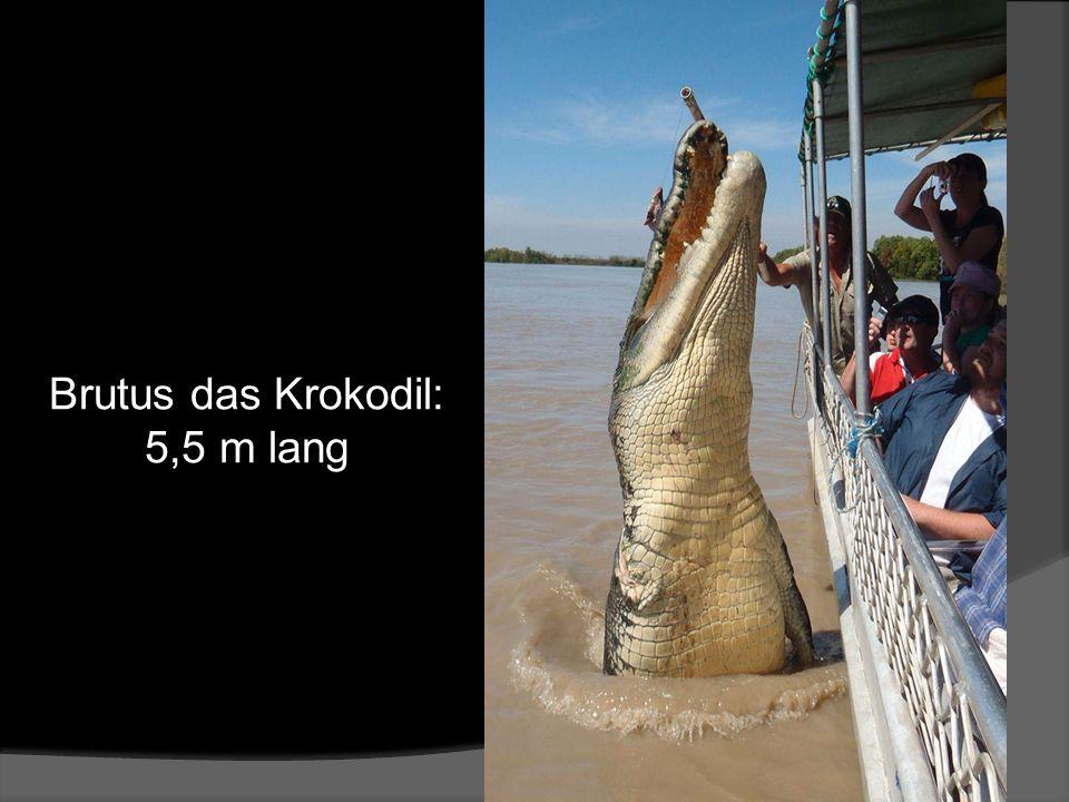 Brutus das Krokodil: 5,5 m lang