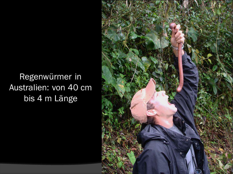 Regenwürmer in Australien: von 40 cm bis 4 m Länge