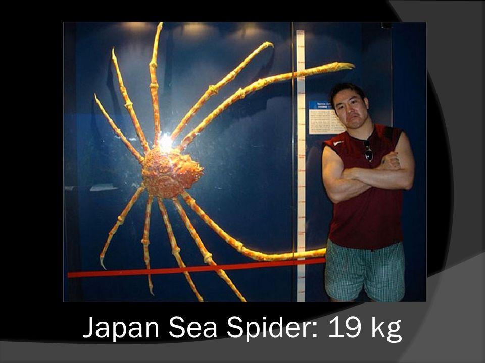 Japan Sea Spider: 19 kg