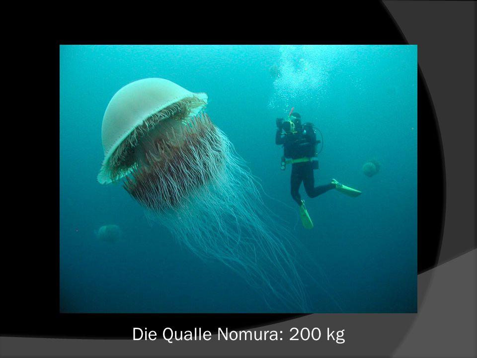 Die Qualle Nomura: 200 kg