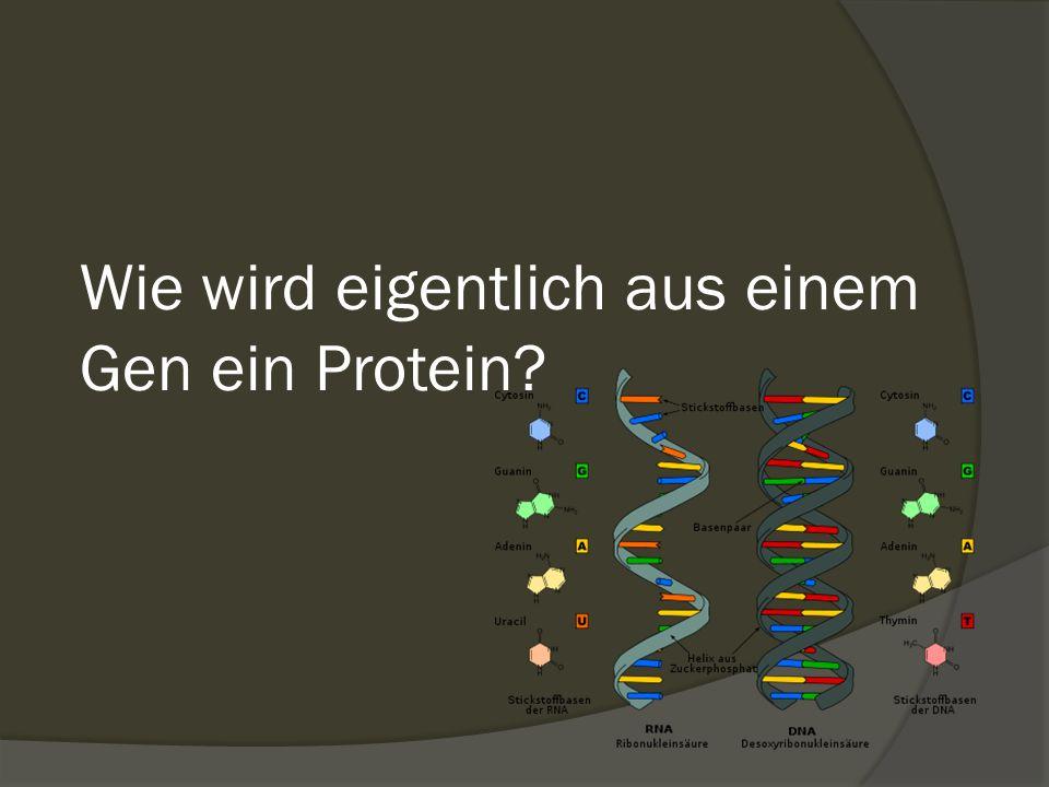 Wie wird eigentlich aus einem Gen ein Protein