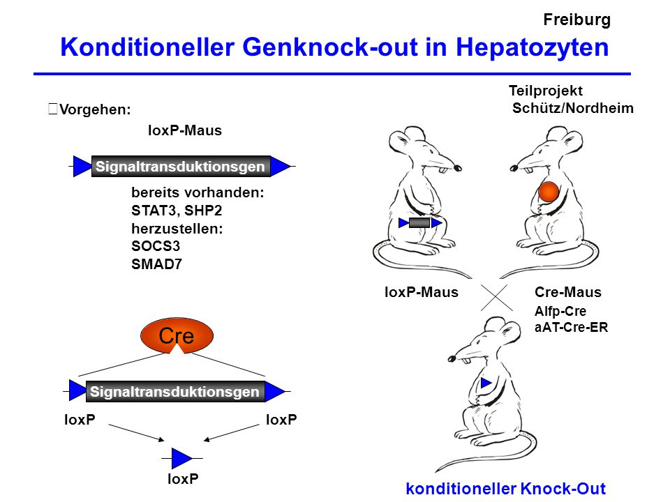 Konditioneller Genknock-out in Hepatozyten