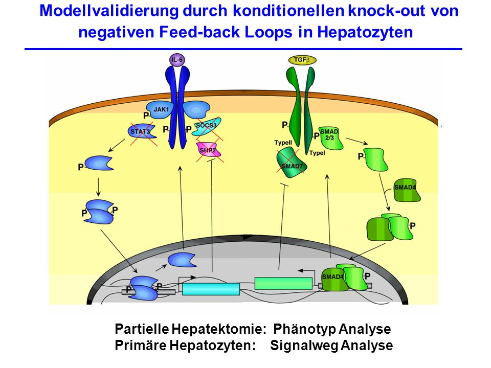 Modellvalidierung durch konditionellen knock-out von negativen Feed-back Loops in Hepatozyten