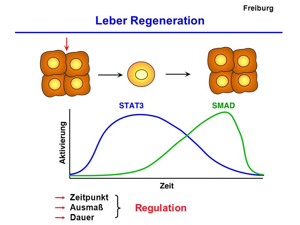 Freiburg Leber Regeneration Zeitpunkt Ausmaß Dauer Regulation
