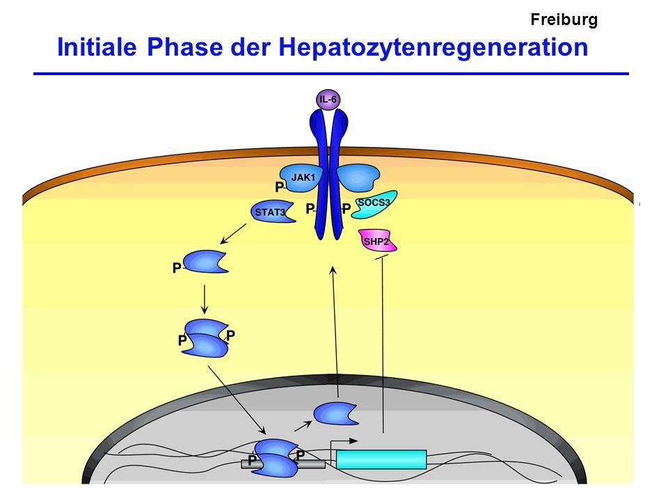 Initiale Phase der Hepatozytenregeneration