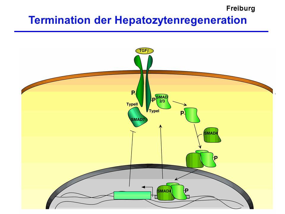 Termination der Hepatozytenregeneration