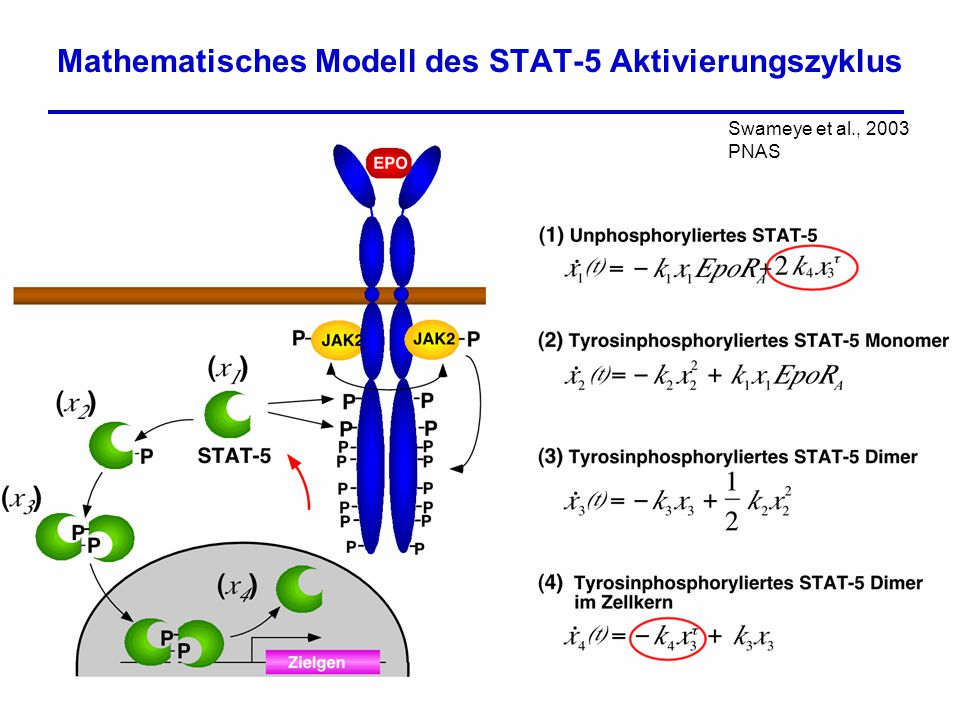 Mathematisches Modell des STAT-5 Aktivierungszyklus
