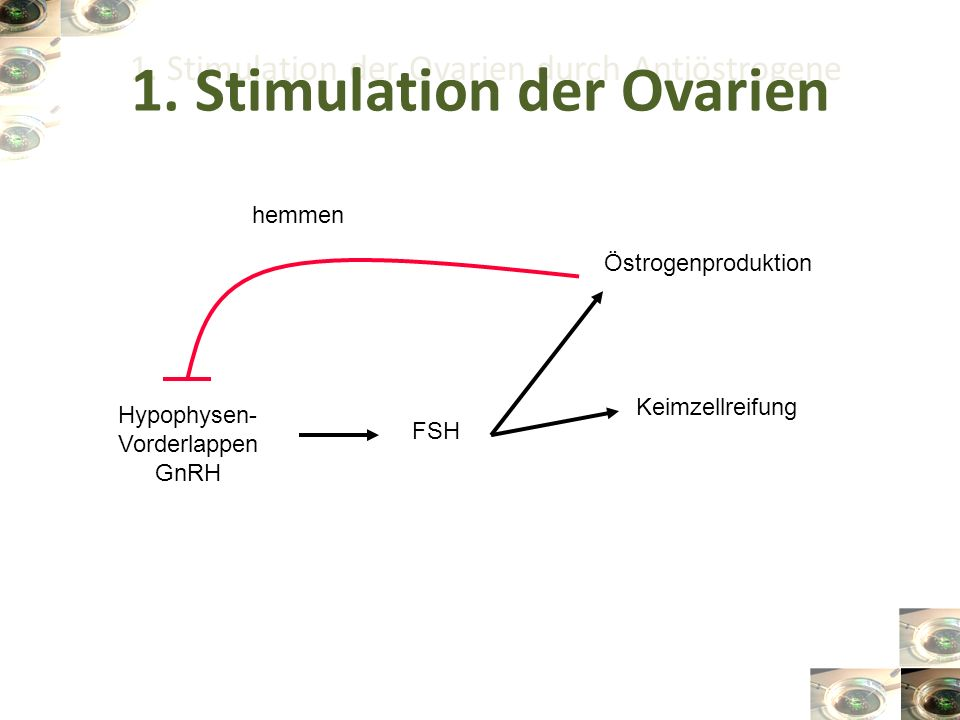 1. Stimulation der Ovarien