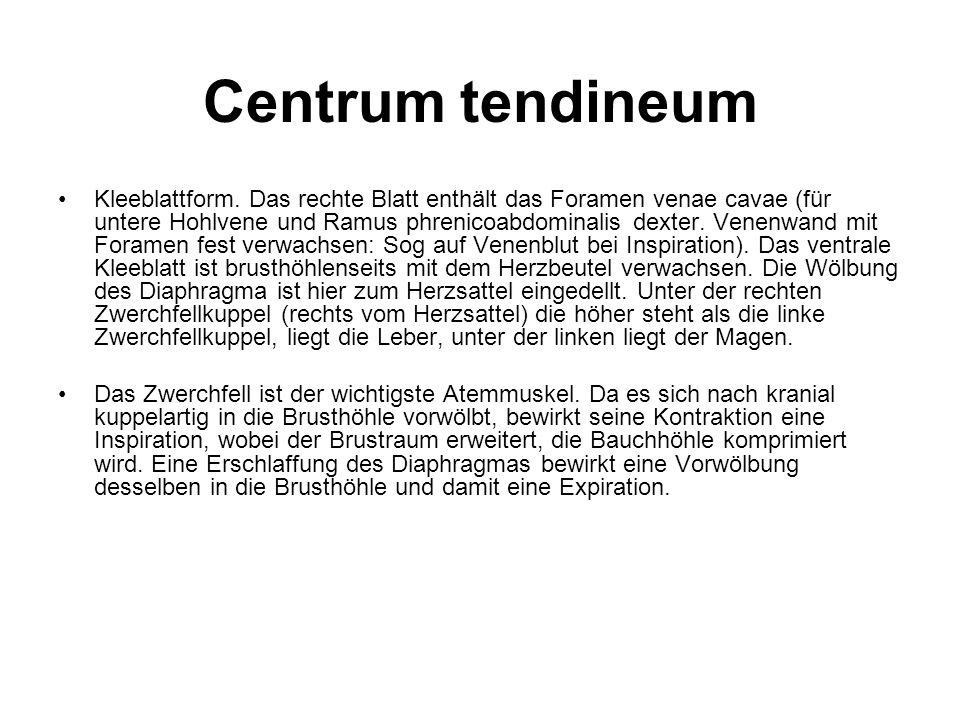Centrum tendineum