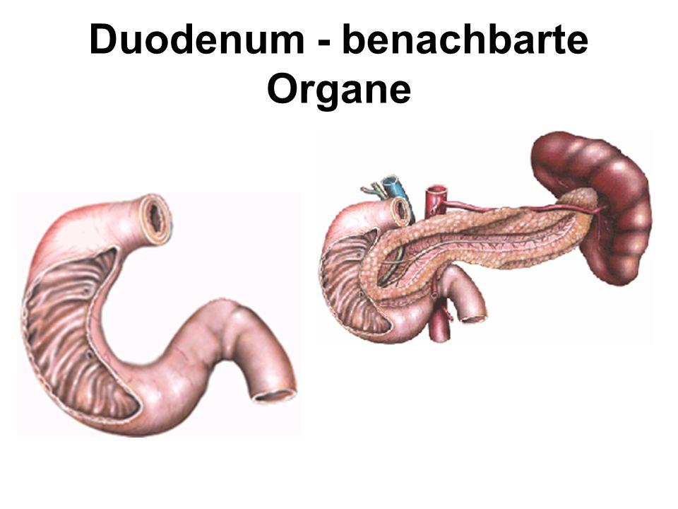 Duodenum - benachbarte Organe