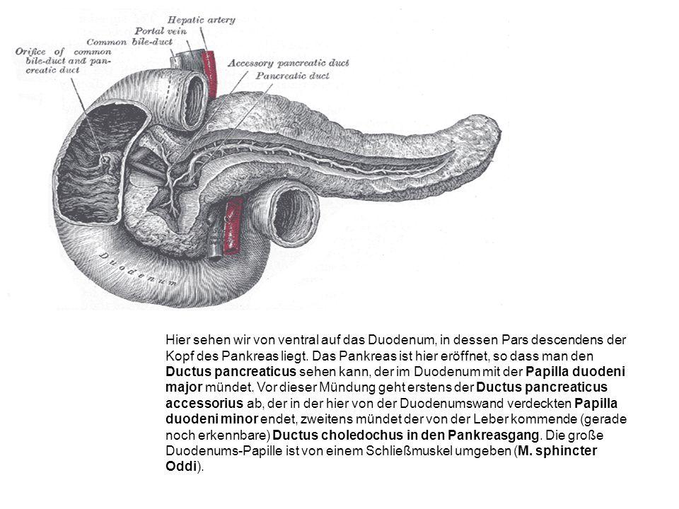 Hier sehen wir von ventral auf das Duodenum, in dessen Pars descendens der Kopf des Pankreas liegt.