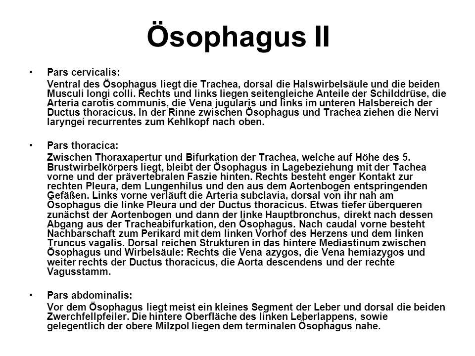 Ösophagus II Pars cervicalis: