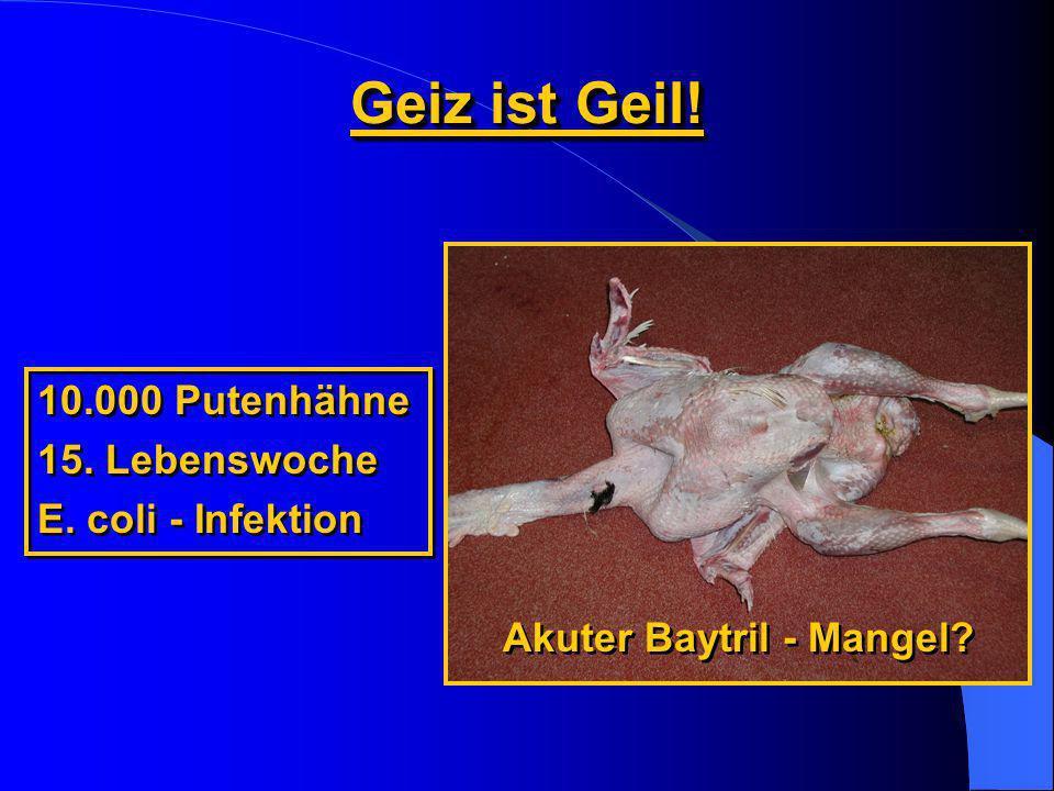 Geiz ist Geil! 10.000 Putenhähne 15. Lebenswoche E. coli - Infektion