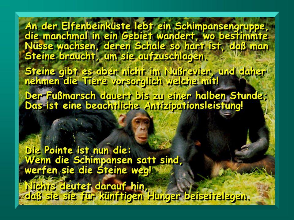 An der Elfenbeinküste lebt ein Schimpansengruppe, die manchmal in ein Gebiet wandert, wo bestimmte Nüsse wachsen, deren Schale so hart ist, daß man Steine braucht, um sie aufzuschlagen.