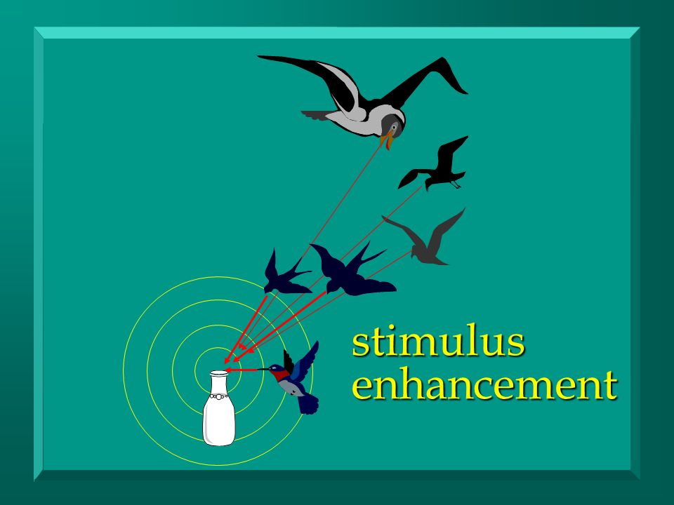 stimulus enhancement