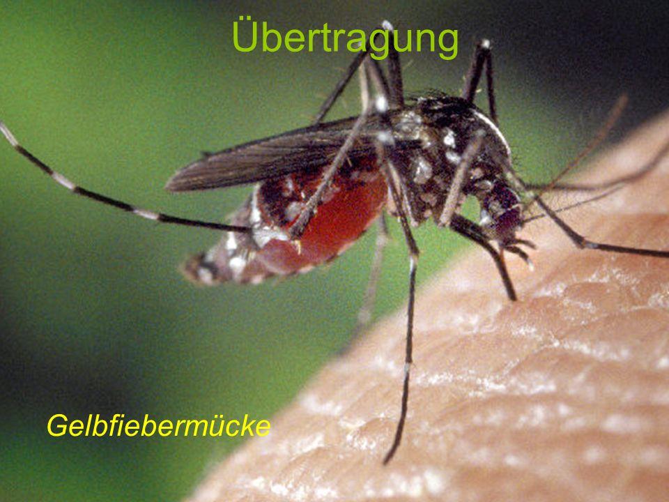 Übertragung Gelbfiebermücke