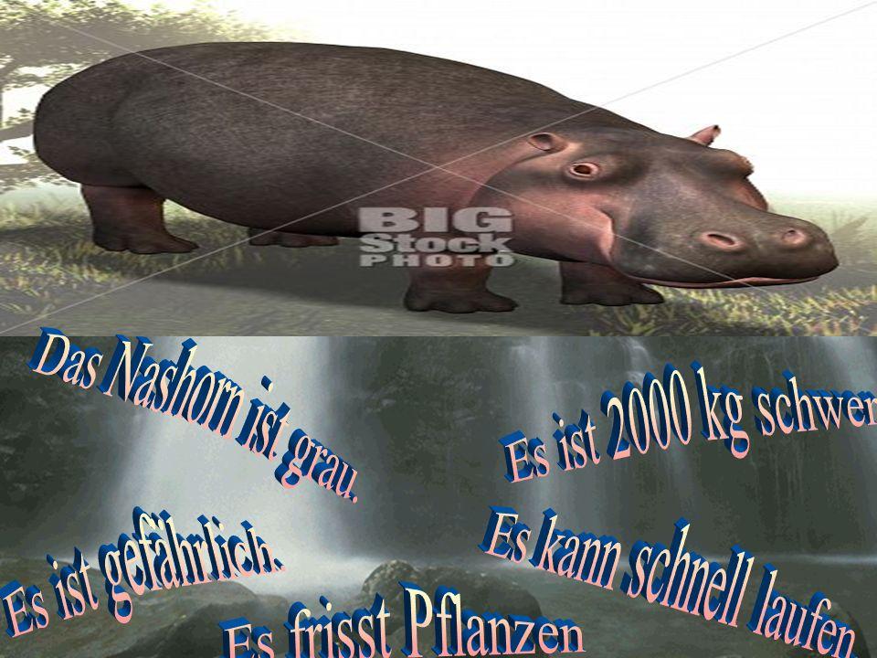 Das Nashorn ist grau. Es ist 2000 kg schwer. Es ist gefährlich.