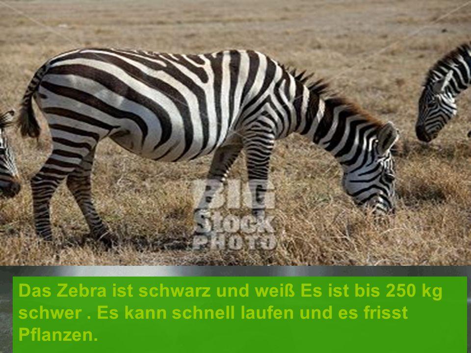 Das Zebra ist schwarz und weiß Es ist bis 250 kg schwer