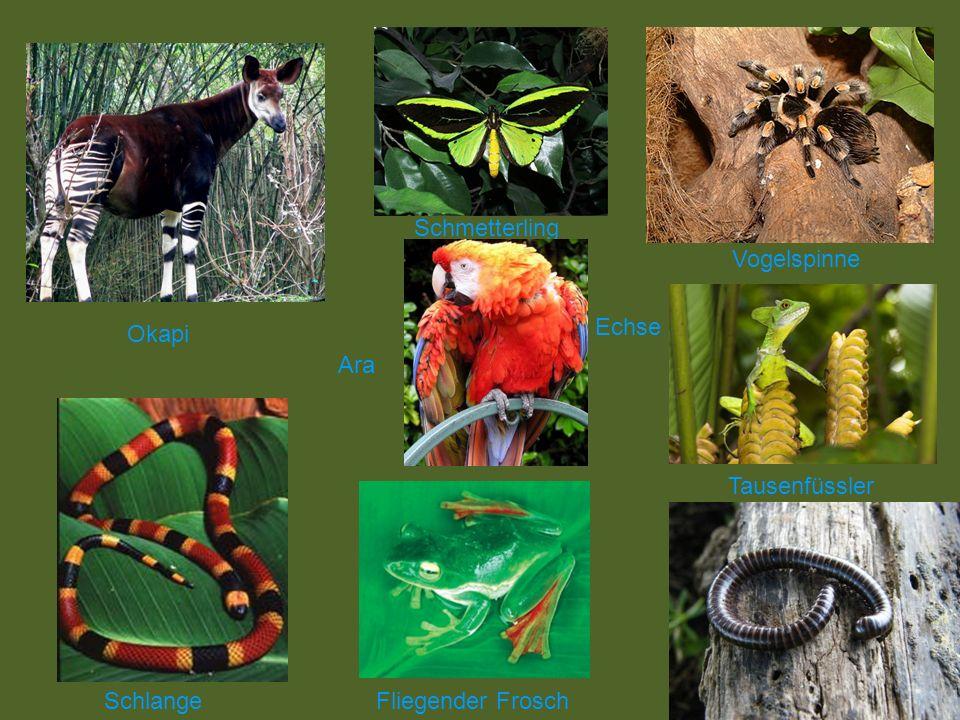 Schmetterling Vogelspinne Echse Okapi Ara Tausenfüssler Schlange Fliegender Frosch