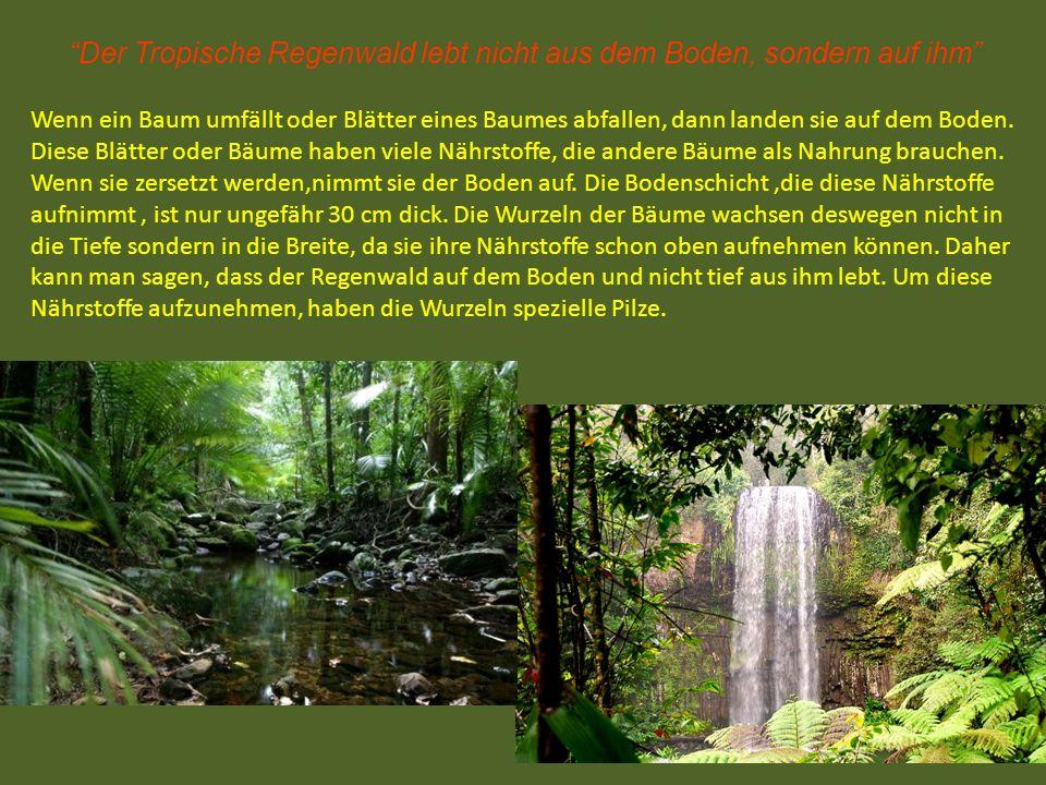 Der Tropische Regenwald lebt nicht aus dem Boden, sondern auf ihm